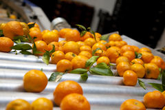 Oranges. In a production line royalty free stock image