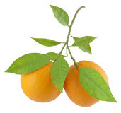 Oranges. On a branch with leaves on a white background Stock Photos