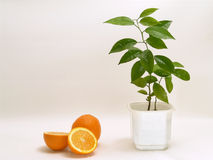 Oranges #2. Composition with oranges royalty free stock image