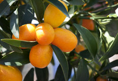 Oranges. Fresh oranges in Orange tree Stock Image