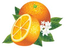 Oranges vector illustration