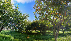 Oranges. In the trees of an orchard Royalty Free Stock Photo