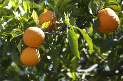 Oranges Images stock
