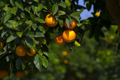 Oranges. Sicilian oranges ready to be harvested Stock Image