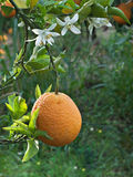 Oranges And Flowers Stock Image