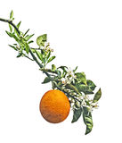 Oranges And Flowers Royalty Free Stock Images