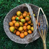 Oranges. In a basket fruit juice natural Stock Images