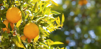 Oranges. Beautiful Orange Tree in mid day sun Royalty Free Stock Image