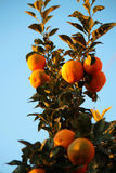 Oranges. Blood oranges in the tree branches Royalty Free Stock Images