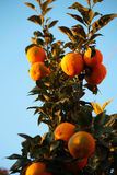 Oranges. Blood oranges in the tree branches Stock Image