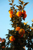 Oranges. Blood oranges in the tree branches Stock Photo