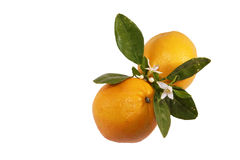 Oranges and blossom. Two oranges and orange blossom branch with leaves and flower isolated stock images
