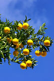 Oranges in blue sky. Stock Images