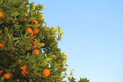 Oranges with blue sky stock photo