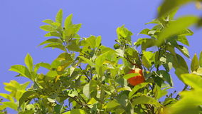 Oranges and blue sky. stock video