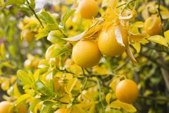 Oranges on Branch Royalty Free Stock Image