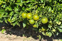 Oranges on branch Royalty Free Stock Photo
