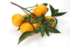 Oranges on branch. Fresh Oranges on branch, with leaves, isolated background Royalty Free Stock Photos