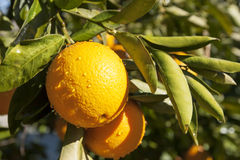 Oranges on Branch. Ripe California naval oranges covered with rain drops hanging on tree branch in bright morning sun Stock Photos