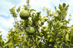 Oranges on a branch. Green oranges grow on a branch against the blue sky Royalty Free Stock Image