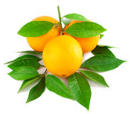 Oranges on a branch with leaves. 