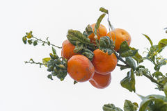 Oranges. Royalty Free Stock Images