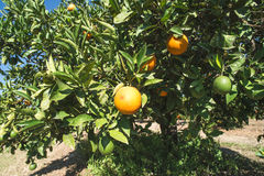 Oranges on a branch Stock Photography