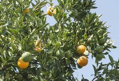 Oranges on a branch Stock Photo