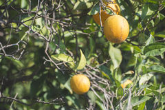 Oranges on a branch Royalty Free Stock Photos