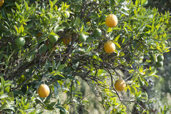 Oranges on a branch Royalty Free Stock Photo