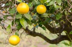 Oranges. Branches with oranges, horizontal photo Stock Photo