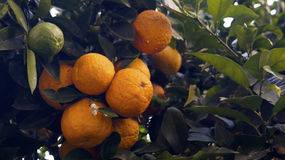Oranges. A bunch of oranges growing together in a tree whit some green ones royalty free stock image