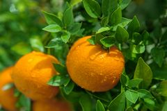 Oranges, Chinese favorite fruit, pray for auspicious, auspicious. JOranges, Chinese Lunar New Year holidays, one of the most favorite fruit, praying for the Royalty Free Stock Photo