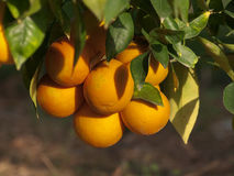 Oranges Citrus On The Tree Stock Photo