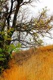 Oranges d'Osage images libres de droits