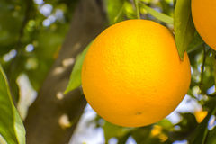 Oranges dans Fallbrook Photographie stock