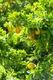 Oranges dans le jardin photo stock