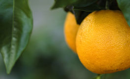 Oranges de la Floride Photos stock