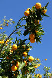 Oranges everywhere! Stock Photo