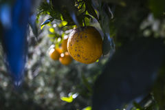 Oranges in Fallbrook California Royalty Free Stock Image