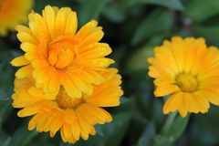Oranges flower Stock Photography