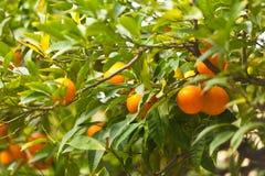 Oranges fraîches sur l'arbre Photos libres de droits
