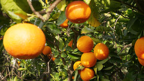 Oranges. Fresh seasonal Oranges from Sicily Italy Royalty Free Stock Images