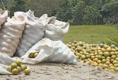 Oranges freshly oicked from the trees. Fresh picked oranges being put into sacks in Belize Stock Image