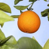 Oranges fruit in orange tree sky background Stock Image