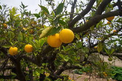 Oranges in fruit orchard in California Royalty Free Stock Photos