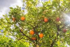 Oranges fruits and blossoms on orange tree in orchard and the sun rays. Spain royalty free stock image