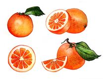 Oranges fruits front view watercolor illustration royalty free illustration