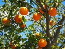 Oranges, Fruits, Orange Tree Royalty Free Stock Photos