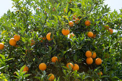 Oranges fruits Royalty Free Stock Photo